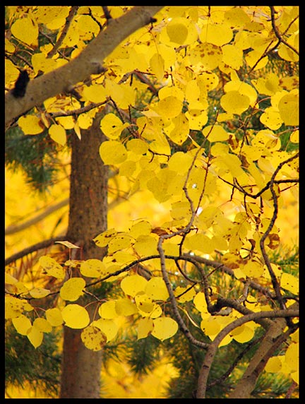 "A tight shot of yellow fall Aspen Leaves, Rocky Mountain National Park, Colorado and Isaiah 25:1. Bible verse ""For You have worked wonders"""