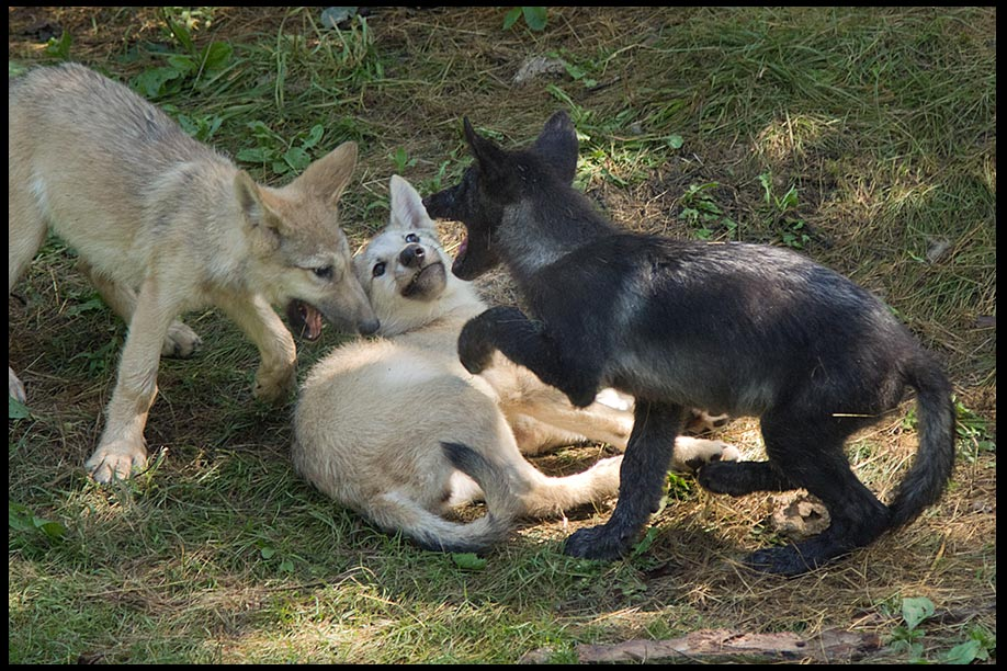 Two brown and one black grey wolf pups playing and Psalm 126:2 a Bible verse about joy.