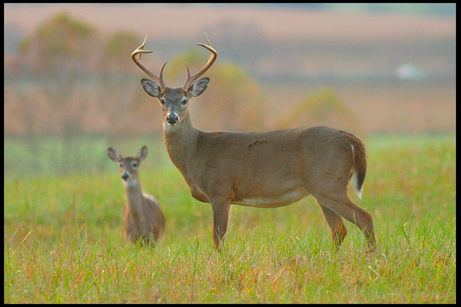 White-tailed Deer Buck and Doe with a fall background, Great Smoky Mountains National Park Then the lame will leap like a deer..Isaiah 35:5-6 bible verse
