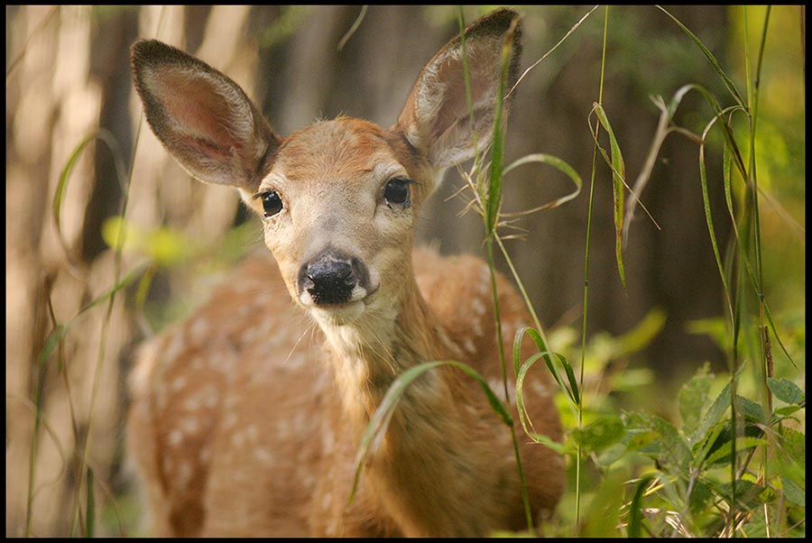 "White-tailed deer fawn, Fontenelle Forest, Bellevue, Nebraska and Micah 7:7 Bible Verse of the Day: ""I will watch expectantly for the LORD"""