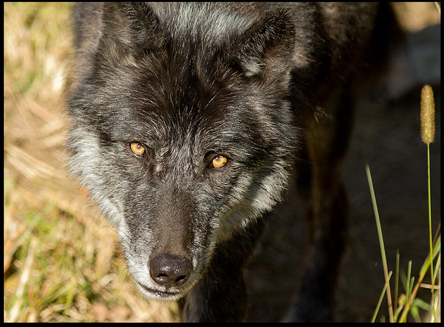 A black grey wolf with bright eyes and Isaiah 65:2 Bible verse about the wolf and lamb