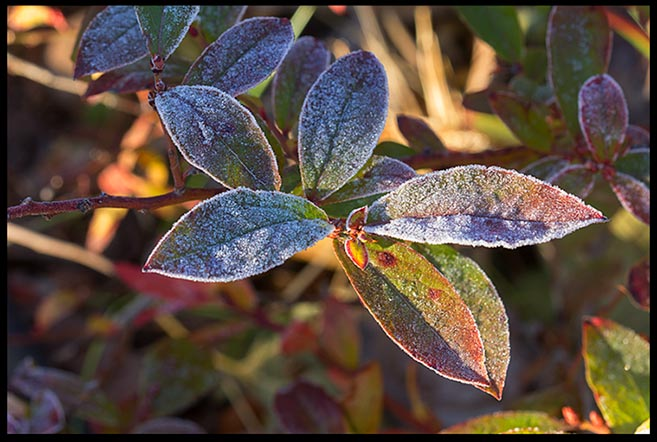Frost on blueberry leaves that had started to turn red in fall. Bible verse Job 38:29 the frost of heaven