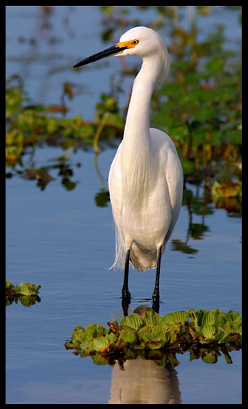 A snowy egret in shallow blue water at Orlando Wetlands Park for Bible verse of the day website