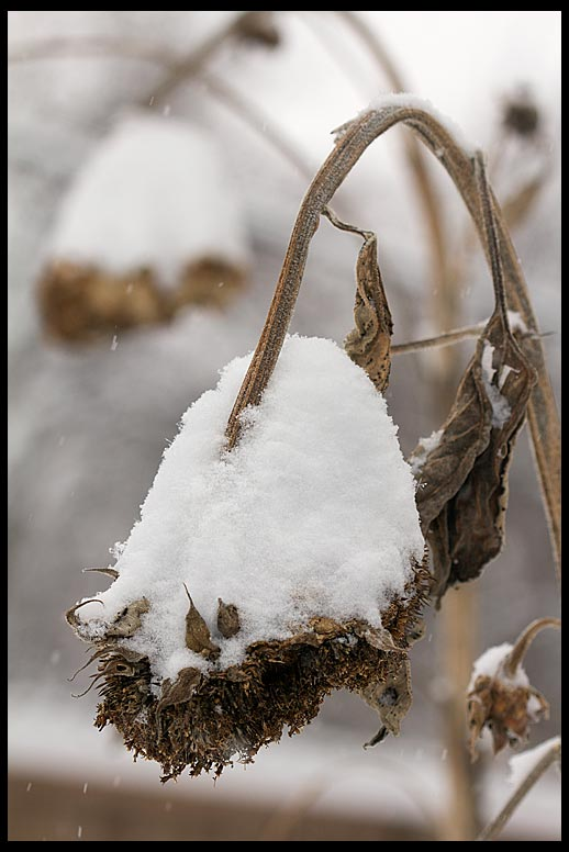 Snow piles up on dried dead sunflowers, Bellevue, Nebraska. Bible Verse of the DayJames 1:9-10 The rich fade away like flowers