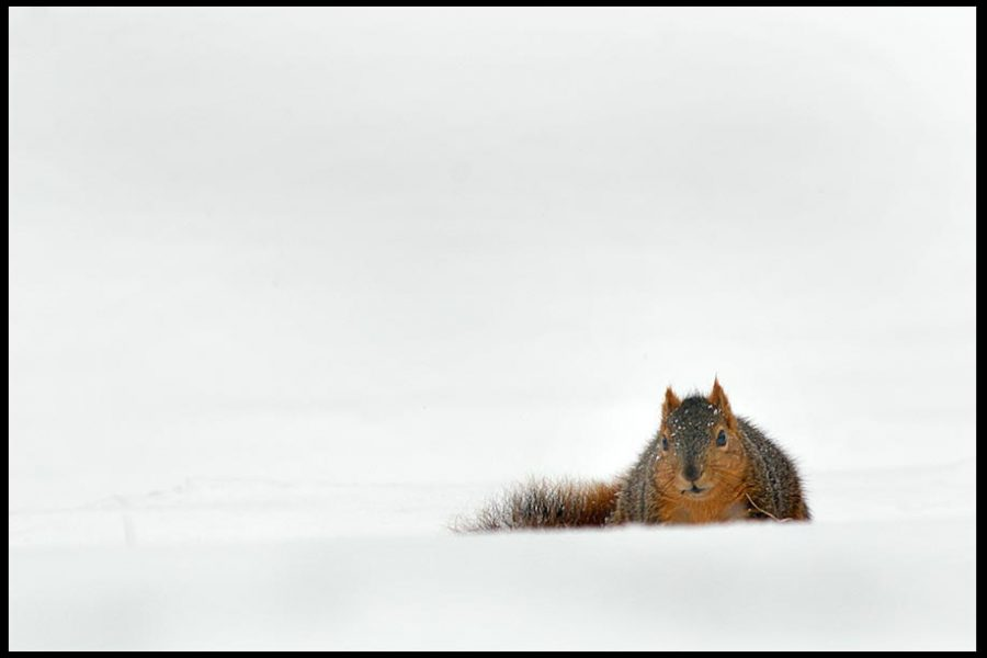 A fox squirrel in surrounded by snow, Eastern Nebraska. Bible verse Isaiah 41:10 do not be dismayed.