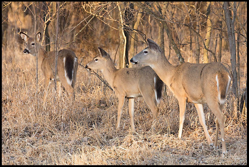 Three whitetail deer does watch at something that has caught their attention in Lake Manawa State Park, Iowa. Bible verse Ecclesiastes 4:12 a cord of three.