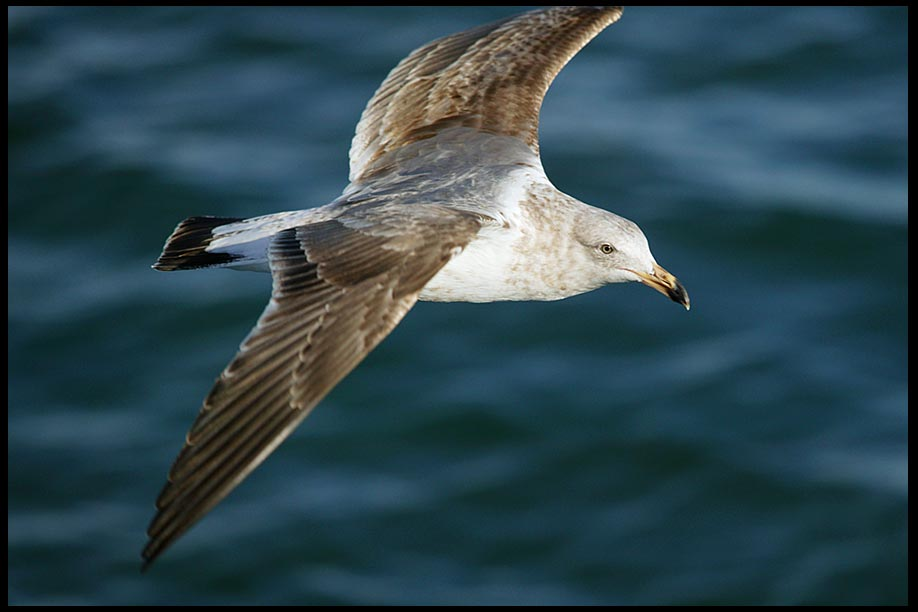 A closeup of a seagull at it soars over the ocean in Southern California and Psalm 139:8-10. God is there