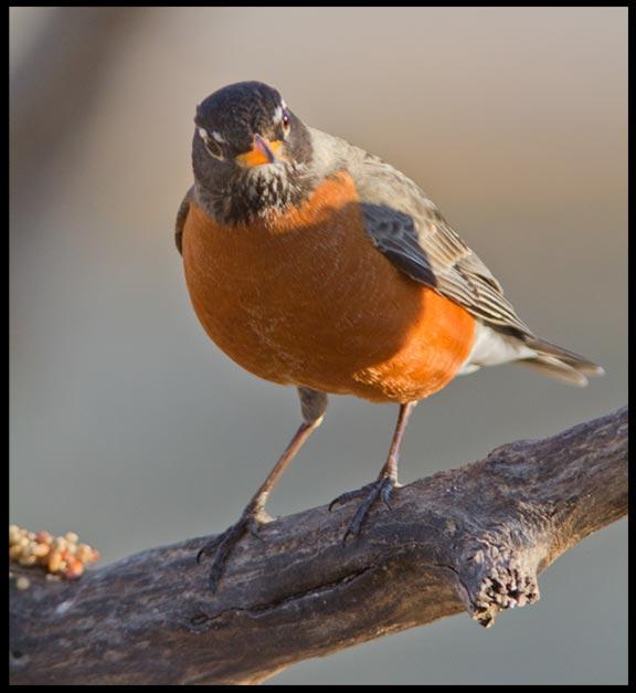 A spring robin on a branch, , Bellevue, Nebraska and Psalm 16:11 Bible verse on the fullness of joy