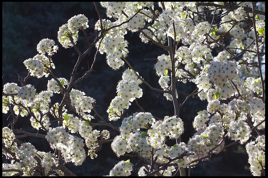 """Pear Tree Blossoms, Bellevue, Nebraska and Bible verse 2 Corinthians 5:17.""""Therefore, if anyone is in Christ, he is a new creation"""