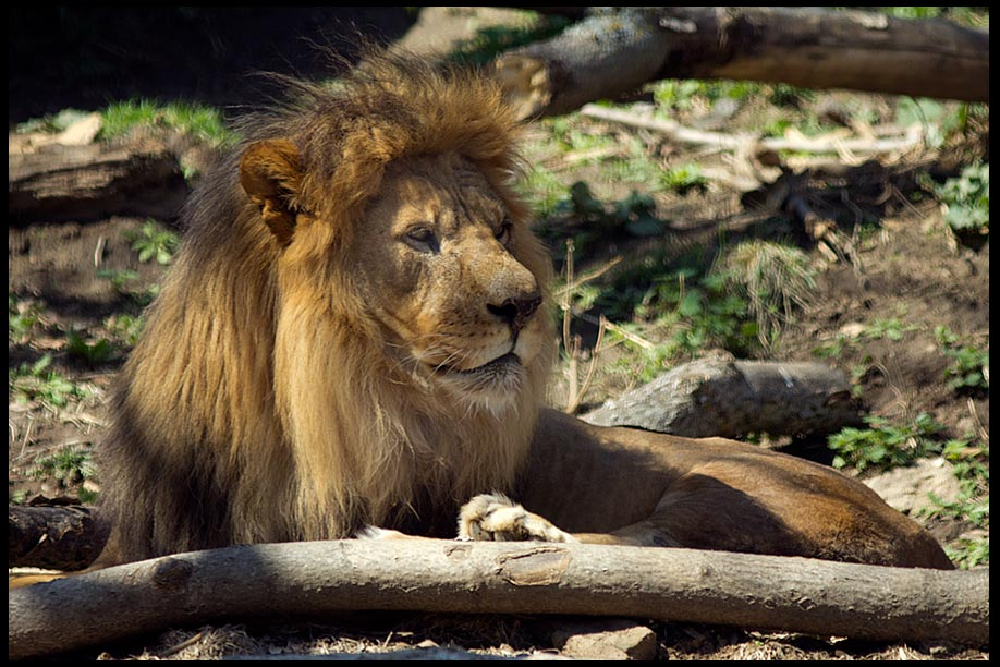 A male lion relaxes in the shade at the Henry Doorly Zoo, Omaha and a Bible Verse Revelation 5:5 Lion of Judah