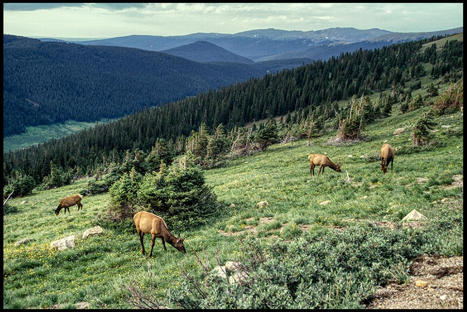 Grazing elk on a mountain side, Rocky Mountain National Park, Colorado and Psalm 147:8-9a Bible verse on God provides
