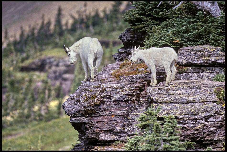 Mother mountain goat and kid on a cliff in Glacier National Park, Montana and Psalm 18:32-34. He makes my feet like hinds' feet Bible Verse of the Day: