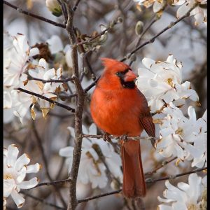 A male northern cardinal in a magnolia tree with white blossoms and Bible verse Psalm 5, one who sings