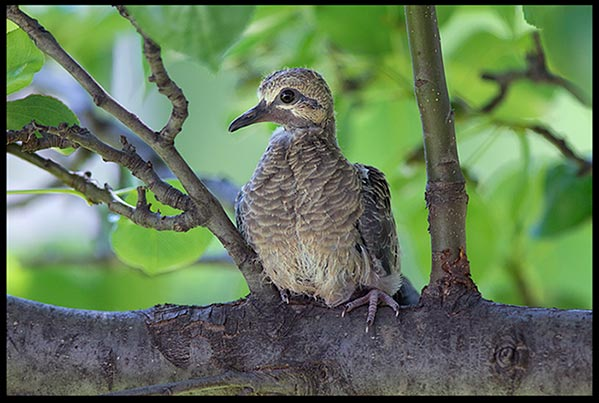 A mourning dove chick on a branch. What does new life tell us about God's redemptive grace?