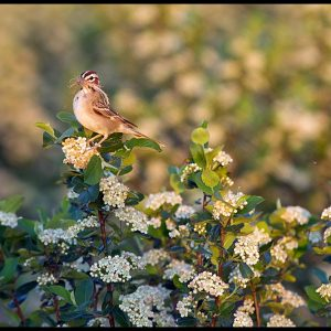 Lark sparrow with nesting material on a blossoming aronia berry, Washington County, Nebraska and Psalm 84:3 Bible verse about God's presence