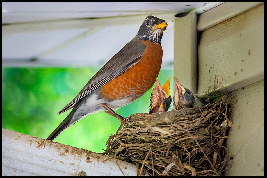 A Robin at the edge of a nest with its chicks. The nest sits on a drain spout. Animal parenthood and bible verse