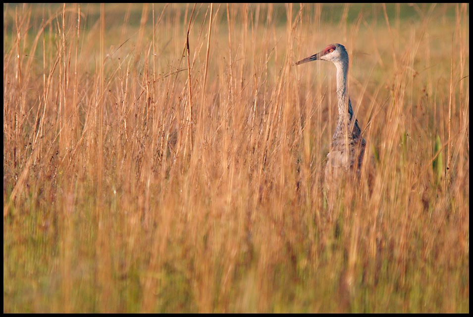 A sandhill crane hides and hunts in the long grass at sunrise, Moss Park, Florida and Psalm 17:7-8 bible verse hide me