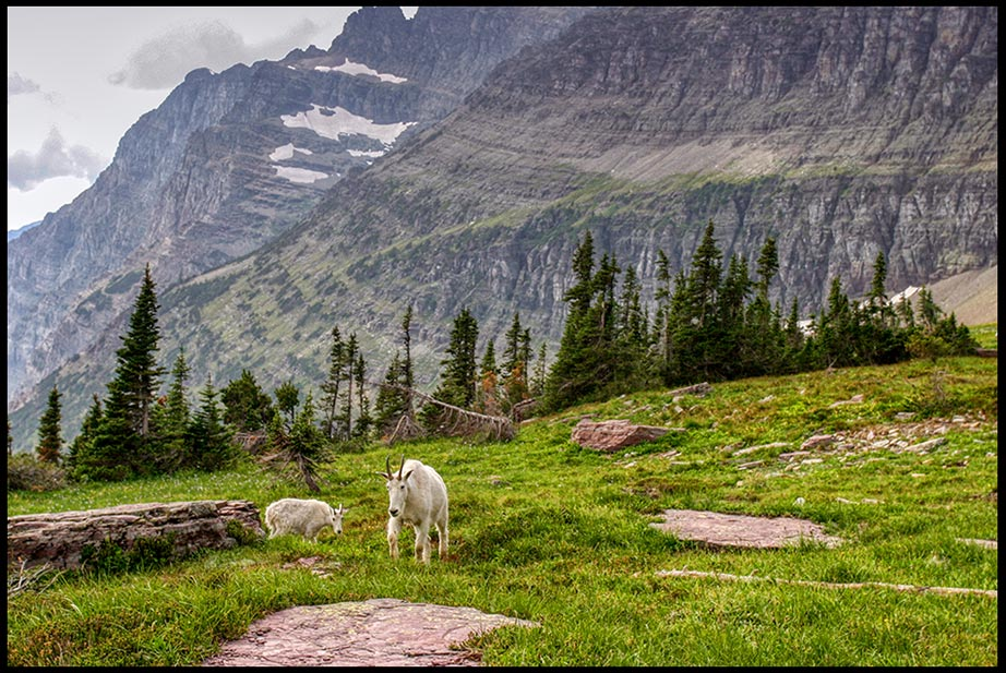 Mountain Goats walk in a high mountain meadow near the Hidden Lake Overlook in Glacier National Park, Montana and Psalm 36:6 Bible on you preserve man and beast
