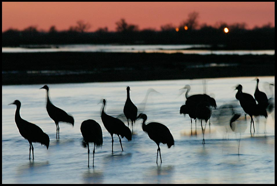 A ghost image of sand hill cranes standing in the Platte River with the red sky of dusk. The shadows of the night Verse of the day, The shadows of the night Psalm 42:8