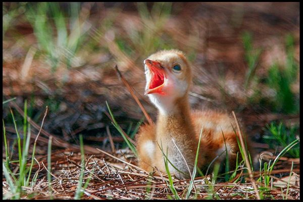 A small sandy brown sandhill crane chick chirping in Moss Park, Central Florida Psalm 40:3-4a for a Bible Verse of the Day: Sing your new song