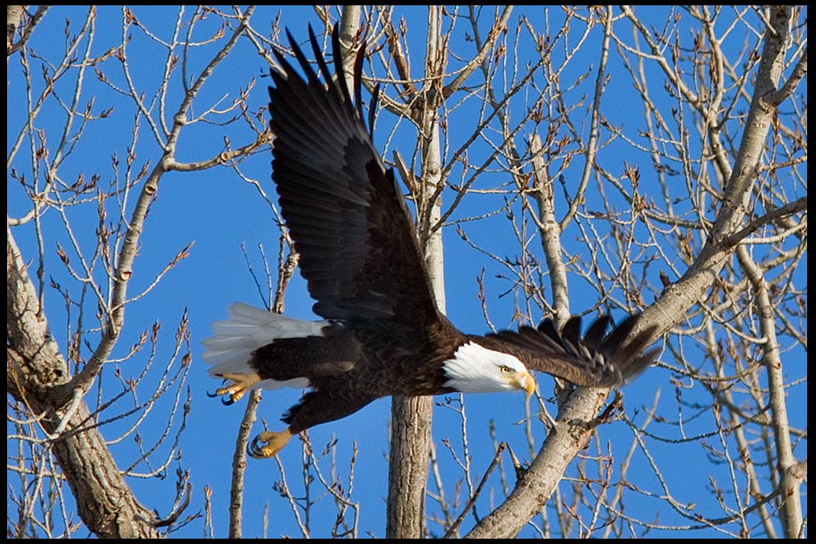 Bald eagle takes off in flight, Loess Bluffs Wildlife Refuge, Missouri wildlife photo and Bible verse Isaiah 40:31 Rise up on wings