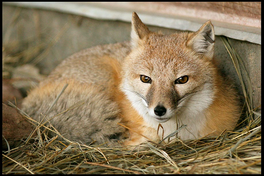 A swift fox dens down in a bed of dried grass in Nebraska. Bible Matthew 8:19 foxes have dens