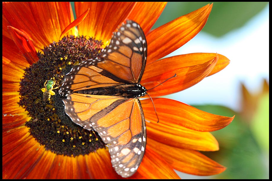 Monarch Butterfly and a green Bee on a orange Sunflower Eastern Nebraska and Matthew 5:5 Bible Verse of the Day, God blesses the gentle