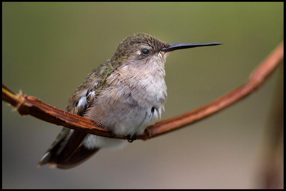 Female Black Chinned Humming Bird on a branch and Psalm 40:5, psalm about many wonders