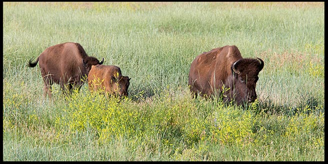 Three bison wandering in Custer State Park South Dakota. very good creation