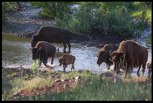 Bison cross the water of French Creek in Custer State Park South Dakota. Part of God's very good creation