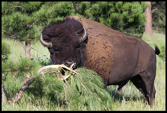 Male bull bison rubs down a pine tree in Custer State Park South Dakota. Part of God's very good creation