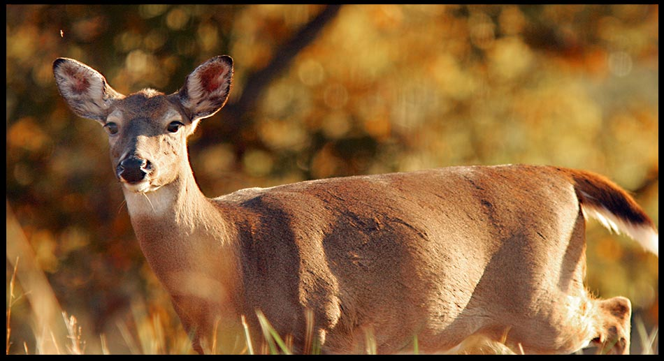"""Psalm 92:1-2 & White-tailed Deer Doe in the Morning, Great Smoky Mountains National Park, Tennessee. """"It isgood to give thanks to theLord and tosing praises to Your name"""