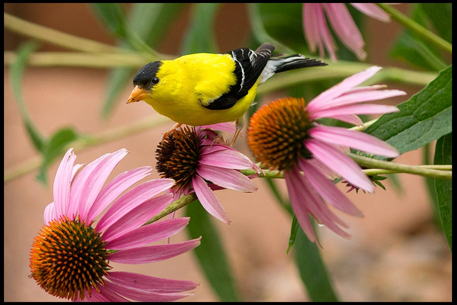 Yellow goldfinch on purple coneflowers, Sarpy County, Nebraska and Song of Solomon 6:10 for Bible Verse of the Day: Yellow goldfinch on purple coneflowers, Sarpy County, Nebraska and Song of Solomon 6:10 bible verse of the day like the dawn