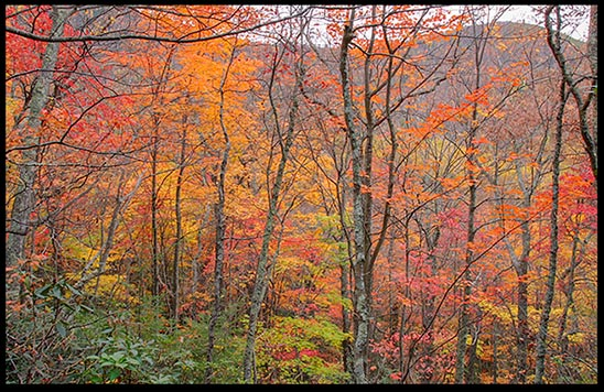 Falls colors of orange, red and purple on trees in Great Smoky Mountain National Park, Tennessee. May God bring us a May God lead us down a path to spiritual revival.