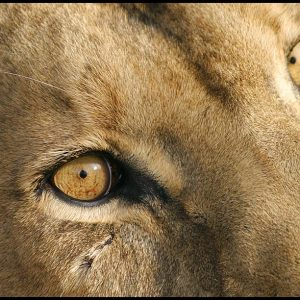 The amber colored watchful eyes of an African lioness. Visual Bible Verse of the Day: 1 Peter 3:12