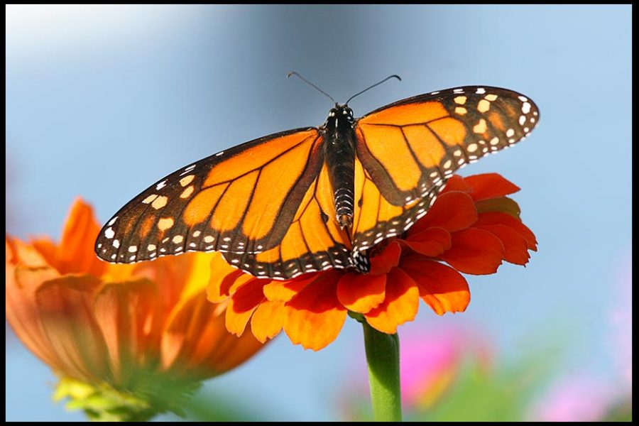 Monarch butterfly on an orange zinnia with blue sky, Eastern Nebraska. Psalm 31:14-15 Bible verse God's hands