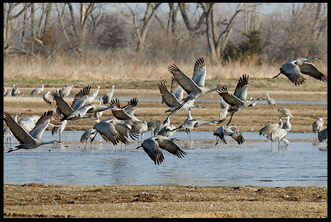 A flock of sandhill cranes take flight from the Platte River, Central Nebraska. Bible verse of the day Philippians 4:4-6 Rejoice always