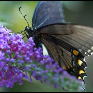 Black swallowtail butterfly on a purple butterfly bush, Eastern Nebraska and John 1:3 bible verse all things came into being
