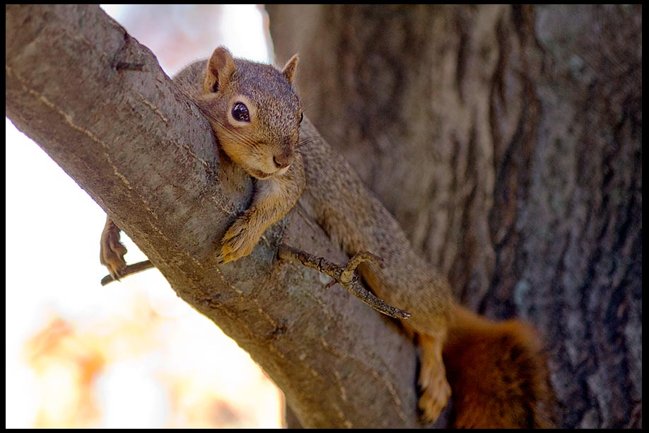 Squirrel resting in an Oak Tree, Bellevue, Nebraska. Find Rest in the LORD. Psalm 37:7 Bible Verse of the Day