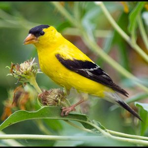 Male American goldfinch eating seeds dry flower heads, Eastern Nebraska. Bible Verse of the Day: I John 3:1-2a and our identity in Christ
