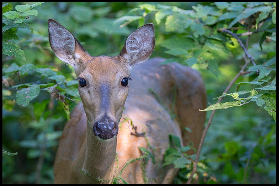 White-tailed deer doe in thick green undergrowth, Fontenelle Forest, Bellevue, Nebraska. Bible verse Ephesians 4:1a-2 gentleness