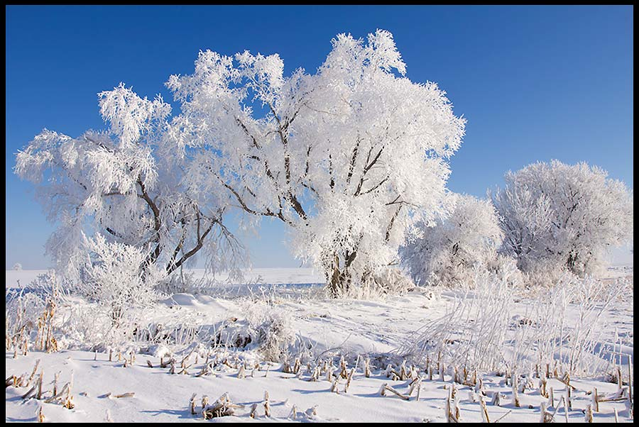 Snow and hoarfrost covered trees in a farm field under a bright blue sky, Eastern Nebraska and Isaiah 1:18. bible verse on as white as snow