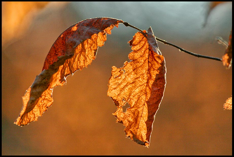 A lone faded fall leaf backlit by the evening sun, Fontenelle Forest, Bellevue, Nebraska. Visual Bible Verse of the Day: Psalm 6:3-4 and troubled emotions before God