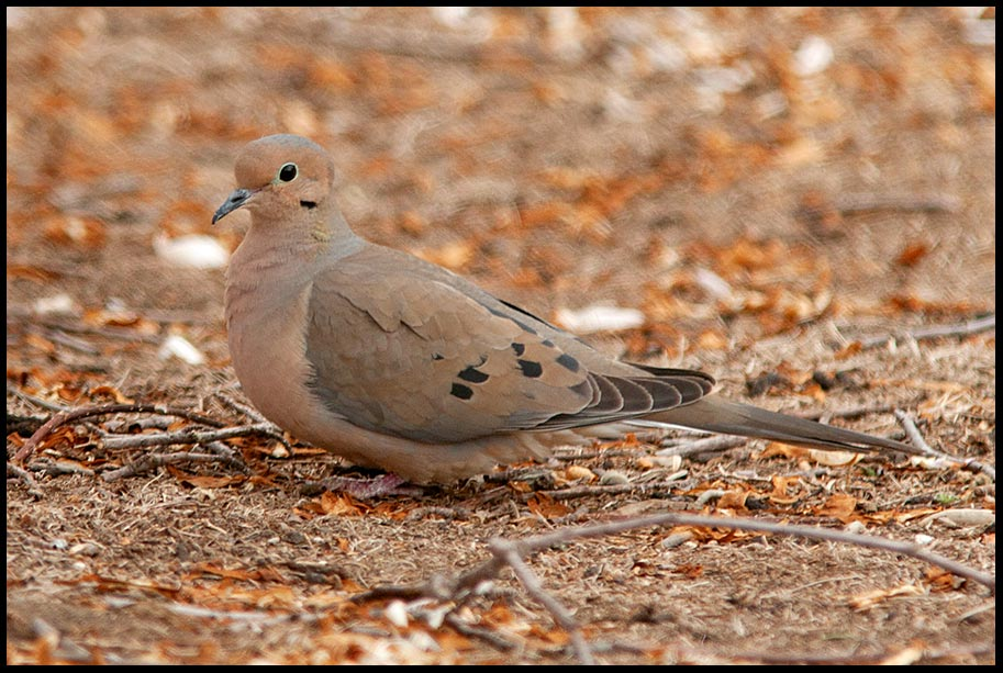 "A mourning dove rest on the ground, eastern Nebraska. Bible versePsalm 55:6""Oh, that I had wings like a dove!"