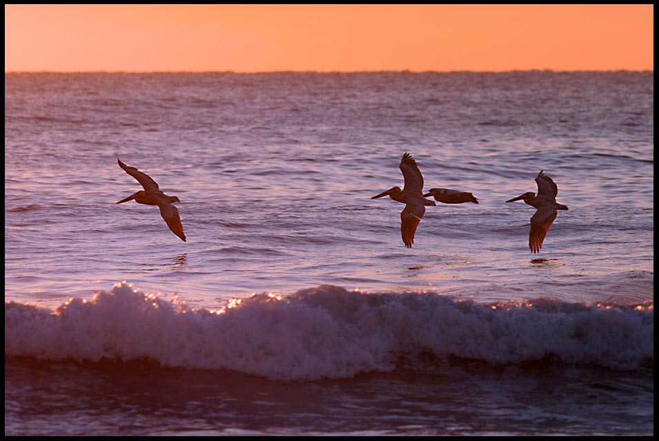 Four pelicans soar over waves as the break on the beach, Melbourne Beach, Florida and Bible verse 1 Chronicles 7:14 If my people humble themselves
