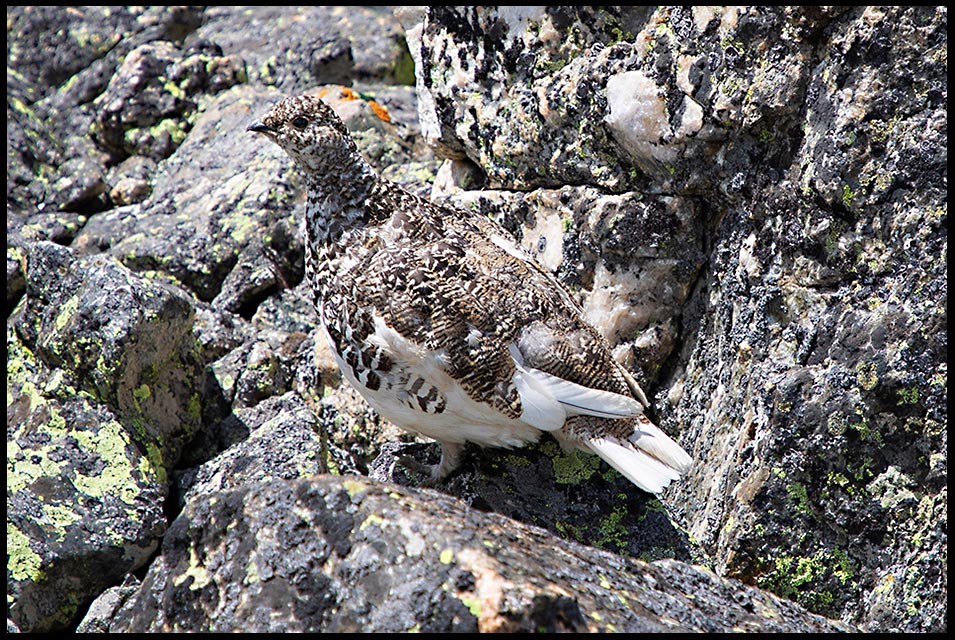 The grey feathers of a white-tailed ptarmigan blend in with alpine rocks, Rocky Mountain Park, Colorado. Bible Verse of the Day: Guest Post by Guy Gerrard: 1 John 3:2 look carefully
