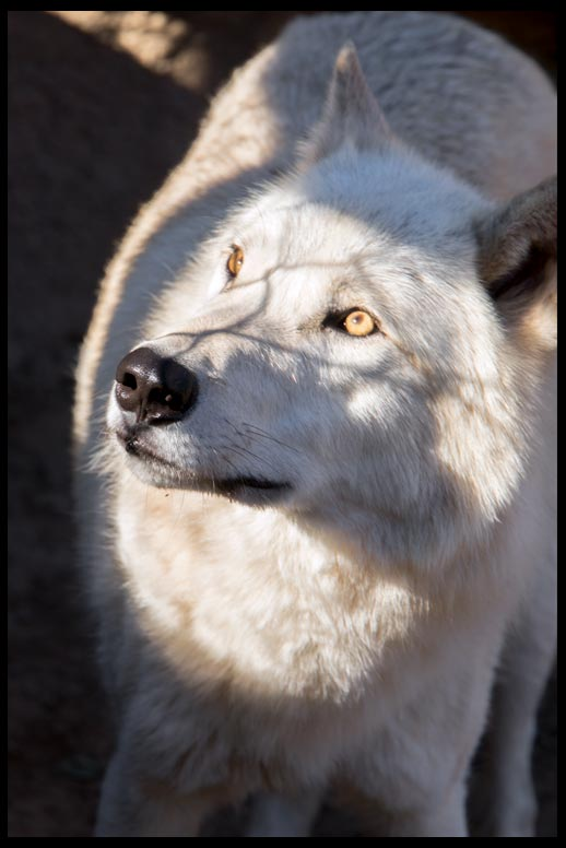 White wolf with sunlight hitting its face while the rest of the wolf is in shadow. Bible verse of the Day Romans 8:19