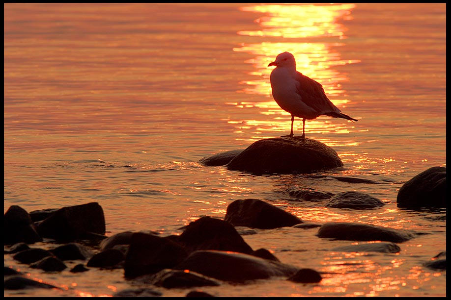 A silhouette of a seagull at standing on a small rock at Sunrise, Lake Huron, Northern Michigan. Psalm 139:11-12 Darkness and light