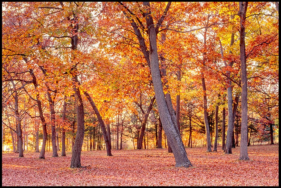A Wisconsin tree grove of bright orange and yellow leaves in autumn colors with fallen leaves covering the ground. Bible Verse of the Day Psalm 136:1, 4 and great wonders