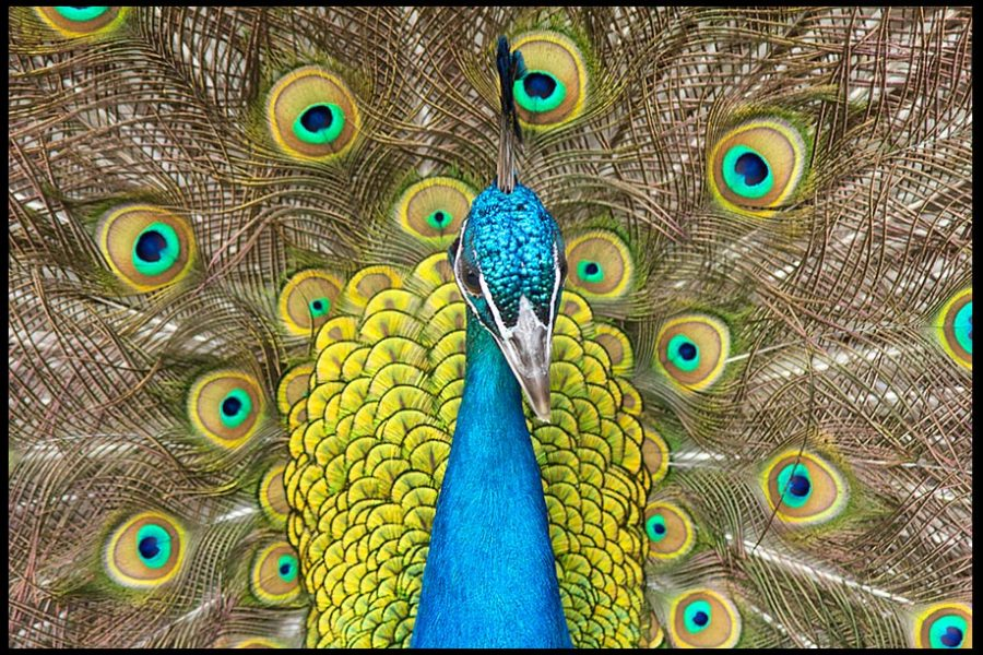 A portrait of peacock with its tail in full fan of colors. Bible Verse of the Day Attributes of God Series: Isaiah 28:29 God's infinite wisdom